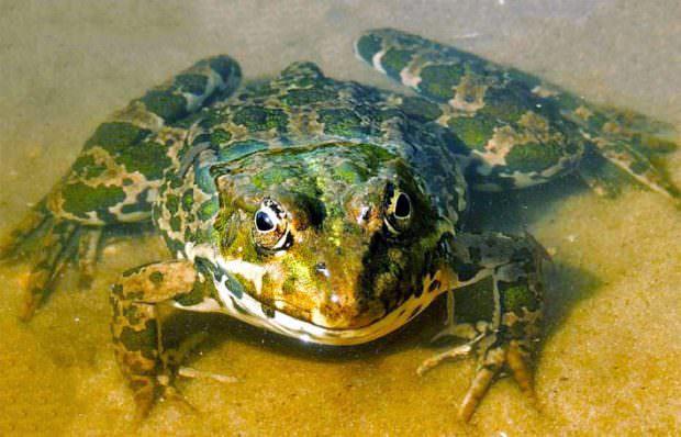 Высушенные выделения кожи лягушек в онкологии