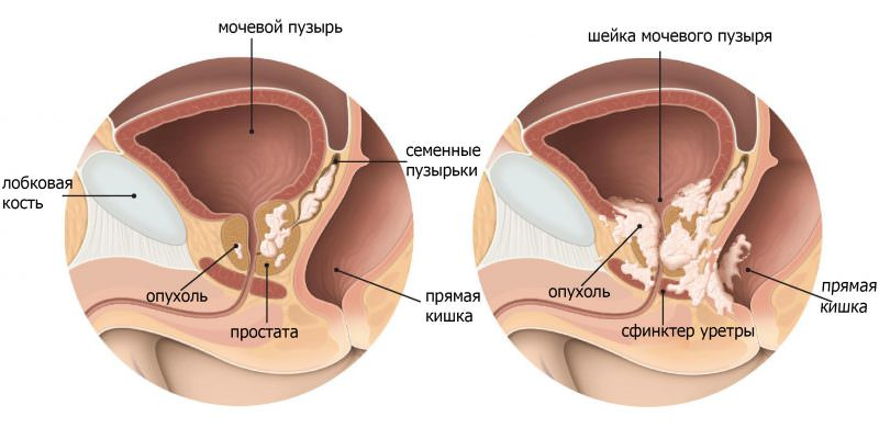 Половой орган